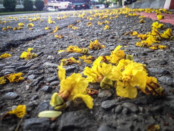 落在柏油路面的花與葉,無根可歸